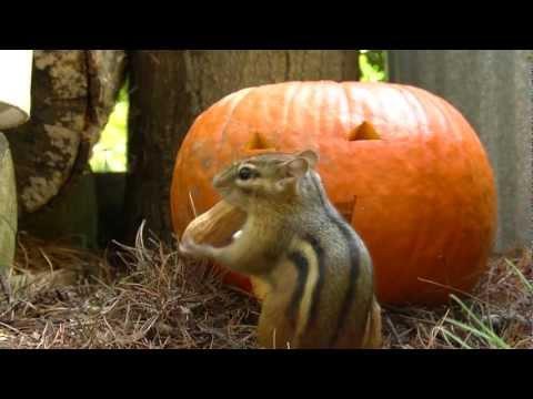 Pumpkin Yums starring Shrew, Squirrel & Chipmunk