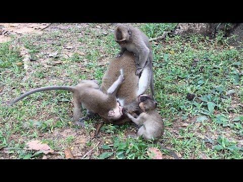 Four Babies Monkeys United Fighting Big Monkey, United's Force, Daily Monkeys Man#1057