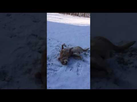 Why do dogs make snow angels?