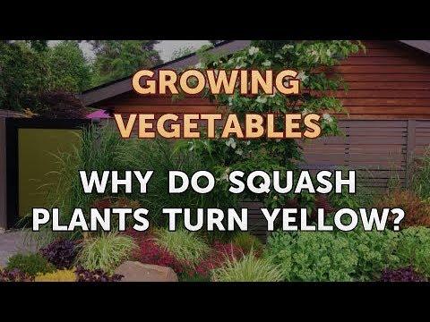 Why Do Squash Plants Turn Yellow?