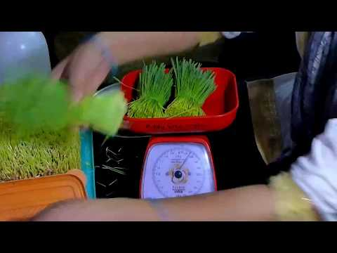 How to harvest Wheatgrass & Tips for Storing it for a Week in Summers