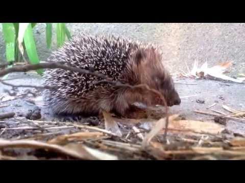 Wild baby Hedgehog eating slugs