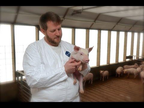 Vet visits family farms raising pigs for bacon, pork