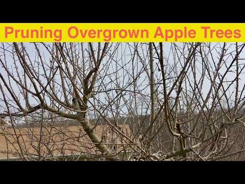 Pruning Overgrown Apple Trees