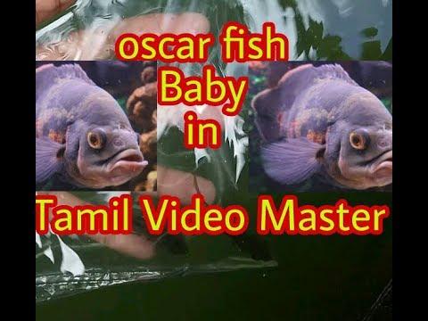 Oscar fish Baby in Tamil Video Master