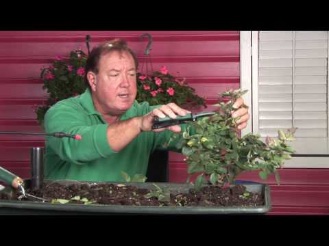 Growing Roses : How to Prune Knockout Roses in Winter