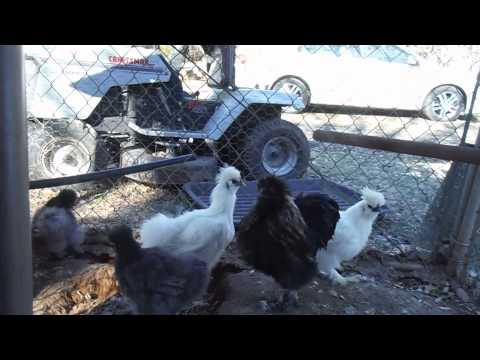 Silkie Chickens and Freezing Temperatures