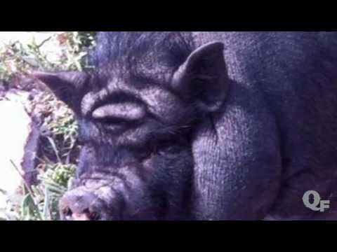 Pig's Forehead Looks Like Iconic Star Wars Character