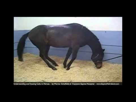Colic in horses: Horse Vet explains what owners should know