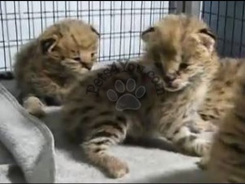 Serval - Kittens for Sale, by Pets4You.com