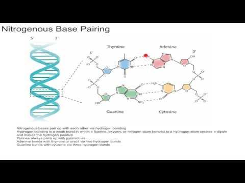 Nitrogenous Base Pairing