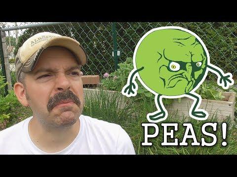 Tasting Snap Peas, Snow Peas & Shelling Peas -Grown in the Garden: I Hafta Pea!