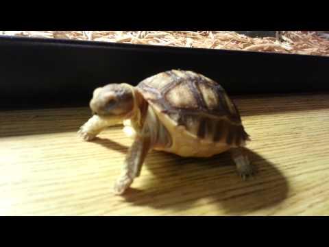 Feeding baby sulcata tortoise