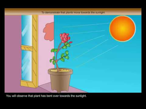 Science Experiments  -  To Demonstrate Taht Plants Move Towards The Sunlight