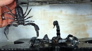 Real Venomous Giant Scorpion Crushed By Hydraulic Press