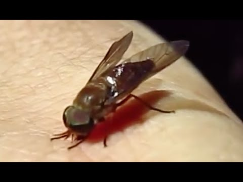 Horse-fly bites and wounds me: an experiment and explanation