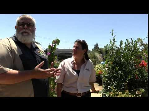 How to maintain Bay Laurel (Laurus nobilis)
