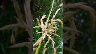 Agimat sa bulaklak. La suerte and bamboo flowers