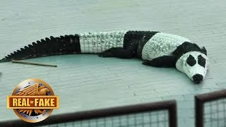 NEW PANDA LIKE CROCODILE DISCOVERED - real or fake?