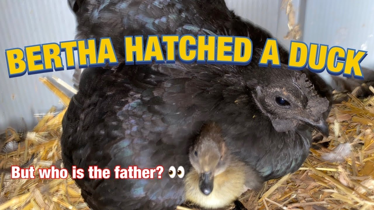 BERTHA HATCHED A DUCK EGG! (Also obligatory update and farm tour)