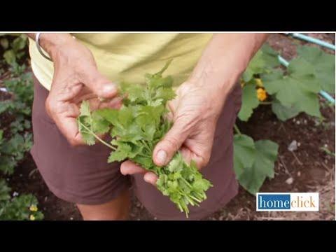 Growing Cilantro - How to Grow Cilantro