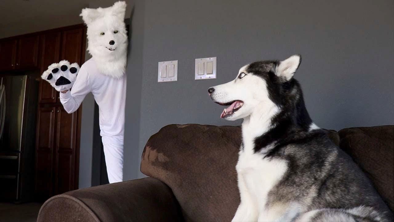 Husky Pranked By Wolf Mask!
