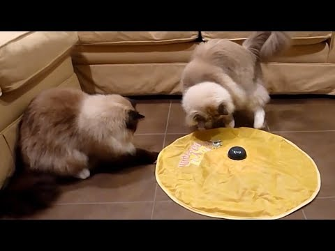 Funny Cat Compilation - Have A Look At The Funniest Ragdoll Cats On The Web!