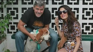 George Clooney, Wife Adopt Basset Hound Mix Named Millie From Shelter