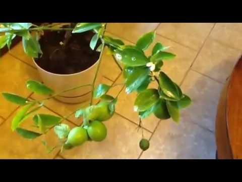 How I treat Meyer lemon and citrus trees for spider mites.