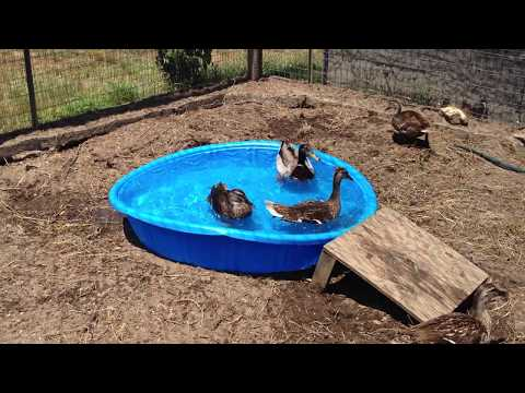 Our ducks 1st time in the kiddie pool