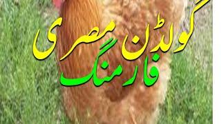 Misri Hen Farming