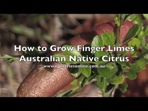 How to Grow Australian Finger Limes