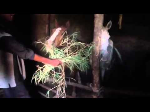 Horses being fed with bamboo in Ethiopia