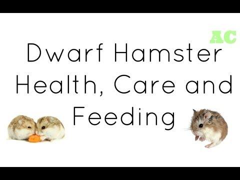 Dwarf Hamster Health, Care and Feeding