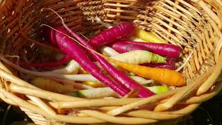 Planting and harvesting rainbow carrots 2020 for beginner