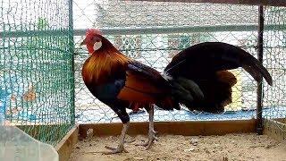 78 Gambar Ayam Hutan Jalak Terbaik