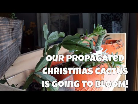 Christmas Cactus Cutting is blooming! SUCCULENT GARDEN UPDATE!