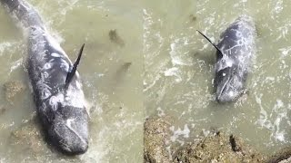 Scared Dolphin Tries To Escape Slaughter | What