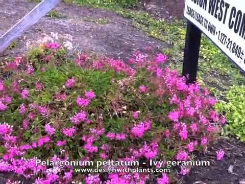 Pelargonium peltatum - Ivy Geranium