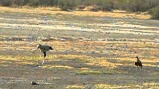 Secretary bird eating a mamba snake, but an eagle stealing it