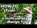 HOW TO Trim a Multi-Variety Mango Tree