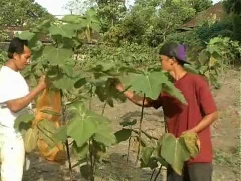 How to make tea from fig leaves?