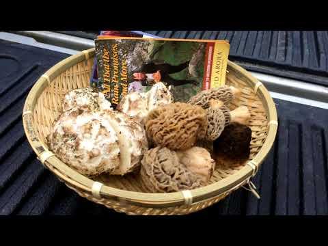 California Mushroom Hunting : Morel