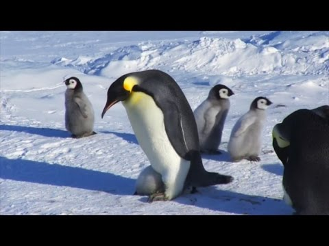 Cute Penguin Chick Refuses to Leave Dad's Pouch Even Though He's Too Big