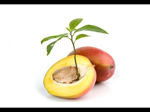 How To Grow MANGO TREE From Seed Faster Growing Mango Trees