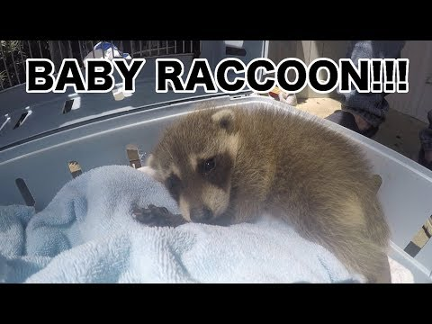 CUTEST NEWBORN RACCOON EVER!!!
