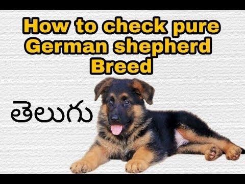 How to check German shepherd pure breed in Telugu | know pure breed dog | Taju logics