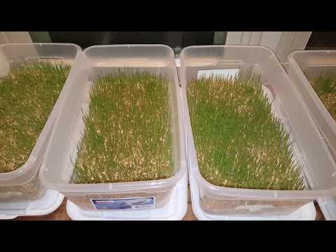 How to Grow Wheat Seeds: Day 4 Update