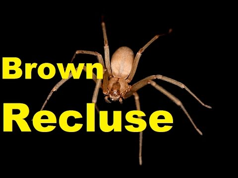 Top 10 SHOCKING Brown Recluse Spider Facts | Brown Recluse Bite | 2017 | TheCoolFactShow EP3