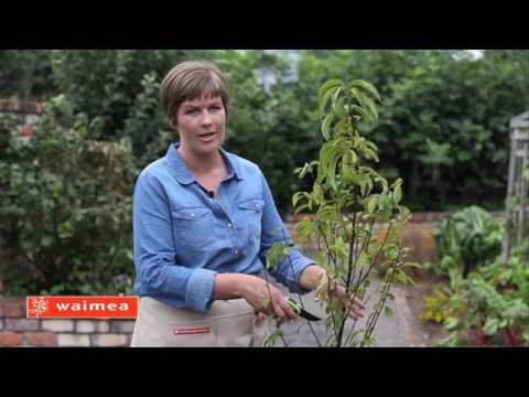 How to prune a vase shape fruit tree